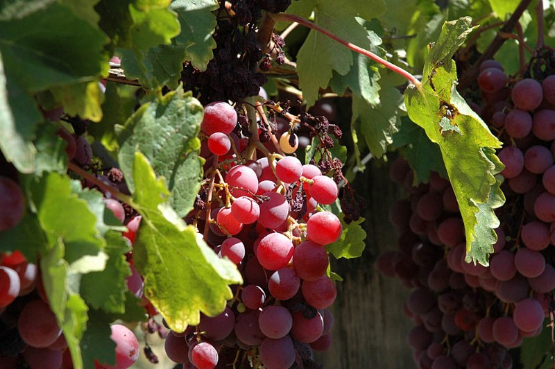 red-grapes
